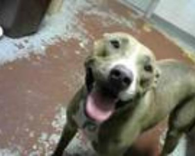 Adopt PEANUT a Pit Bull Terrier, Mixed Breed