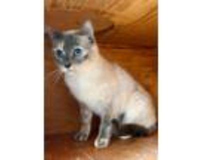 Adopt Edweena a Tan or Fawn Siamese (short coat) cat in Walnut, CA (31000399)