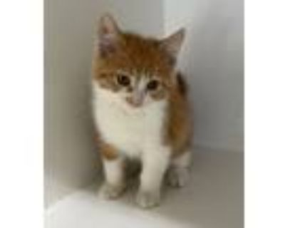 Adopt Ginger Snap a Orange or Red (Mostly) Domestic Mediumhair / Mixed cat in
