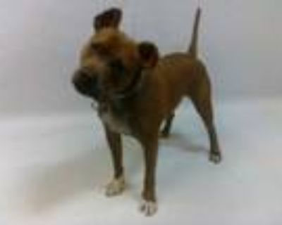 Adopt 21-07641 a Pit Bull Terrier