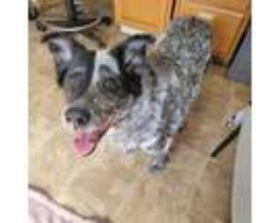 Adopt Ella a Cattle Dog, Australian Cattle Dog / Blue Heeler