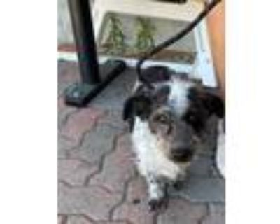 Adopt UNKNOWN a Black - with White Poodle (Toy or Tea Cup) / Mixed dog in Rancho