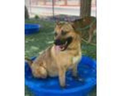 Adopt Dunkin a Tan/Yellow/Fawn Labrador Retriever / Mixed dog in El Paso