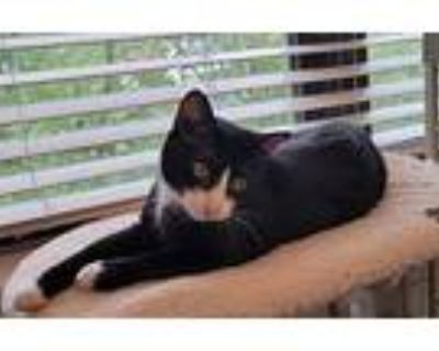 Mia, Domestic Shorthair For Adoption In Fort Worth, Texas