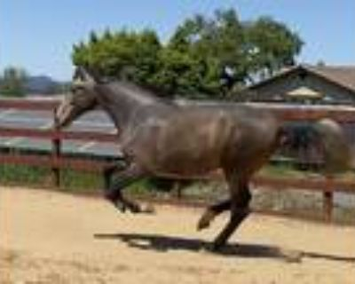 Elegant Charming Classic Andalusian Gelding in Northern Cali