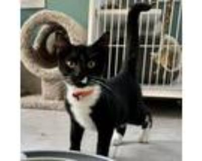 Adopt Butler a All Black Domestic Shorthair / Mixed cat in Fairfax Station
