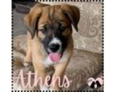 Adopt Athens a Brown/Chocolate - with Black Golden Retriever / Mixed dog in