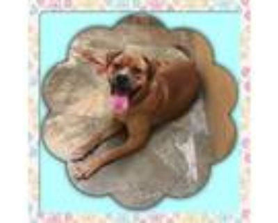 Adopt Goldie a Boxer, American Bully