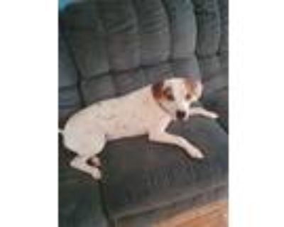 Adopt Didi a White - with Brown or Chocolate Labrador Retriever / American Pit