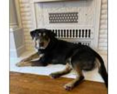 Adopt Teddy a Black - with Tan, Yellow or Fawn Rottweiler / Mixed Breed (Medium)