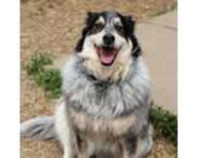 Adopt Athena a White Great Pyrenees / Mixed dog in Shawnee, KS (31480447)