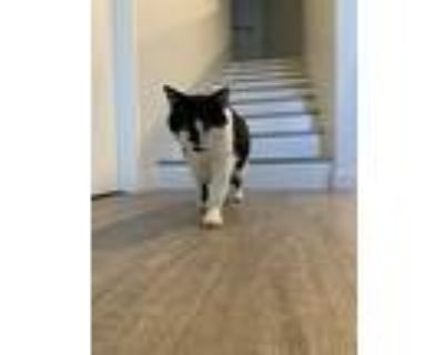 Mou, Domestic Shorthair For Adoption In Los Angeles, California