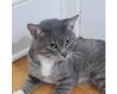 Adopt Junior a Brown Tabby Domestic Shorthair / Mixed cat in St.