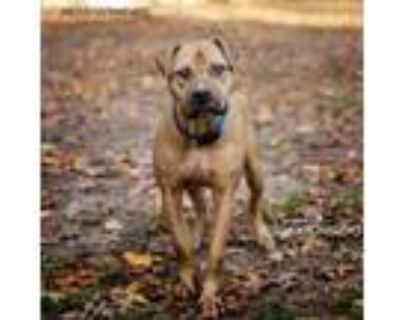 Adopt 95 (Ninety Five) a Hound, Pit Bull Terrier