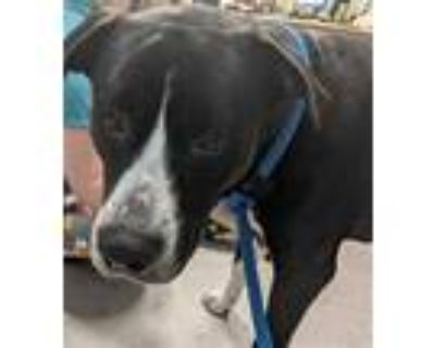 Adopt BIG BIRD a Black - with White American Pit Bull Terrier / Mixed dog in