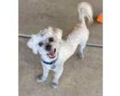 Adopt SPIKE a Tibetan Terrier