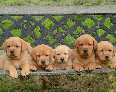 Labrador Retriever pups, Fox Red andYellow