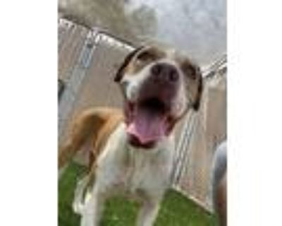 Adopt Maize a American Staffordshire Terrier