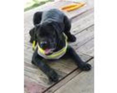 Adopt Ted a Black Labrador Retriever / Mixed dog in BOULDER, CO (32015143)
