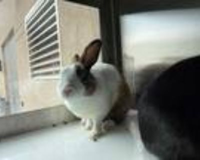 Adopt *HIP a White Other/Unknown / Mixed rabbit in Brighton, CO (32072716)