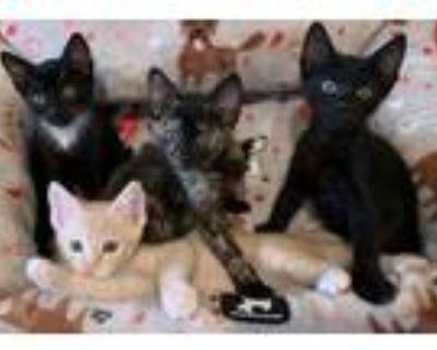 Adopt 4 Kittens NEED FOSTER a Black & White or Tuxedo Domestic Shorthair (short