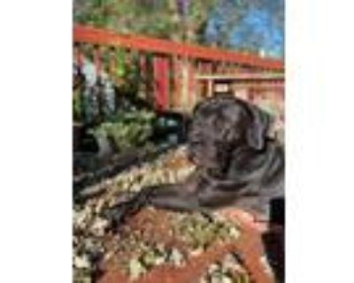 Adopt Love Bug a Black Mastiff / Mixed dog in Silver Spring, MD (29339807)