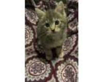 Adopt Penelope a Gray or Blue Domestic Shorthair / Domestic Shorthair / Mixed