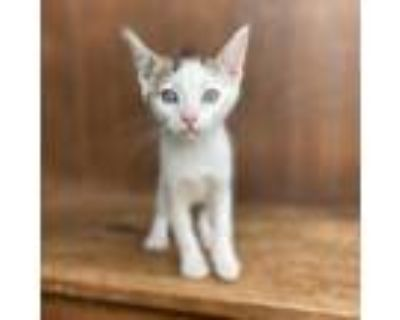 Adopt Slytherin a White Domestic Shorthair / Mixed cat in Fredericksburg