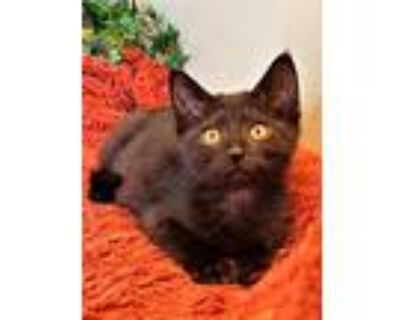 Zach, Domestic Shorthair For Adoption In Taylor, Michigan