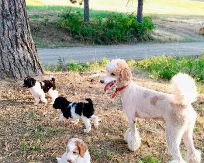 AKC Standard Poodle Parti Puppies- Health Tested Parents