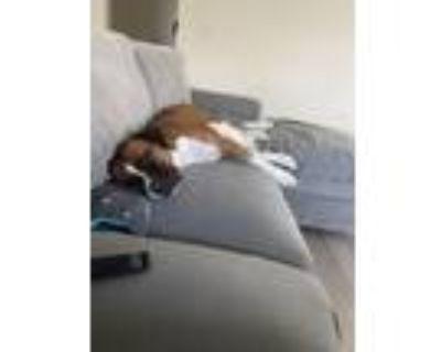 Adopt Bailey a Boxer / Mixed dog in Denver, CO (31690765)