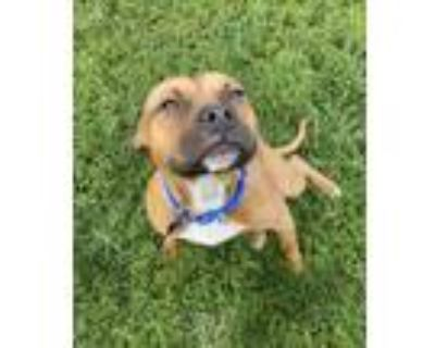 Adopt Mateo a Brown/Chocolate Boxer / Pit Bull Terrier / Mixed dog in
