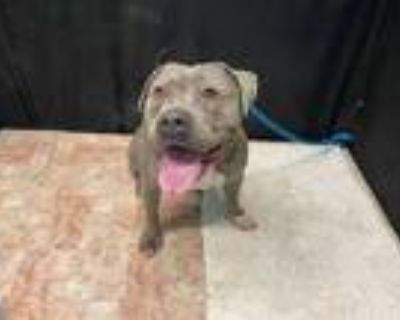 Adopt SMOKEY a Gray/Silver/Salt & Pepper - with White American Pit Bull Terrier