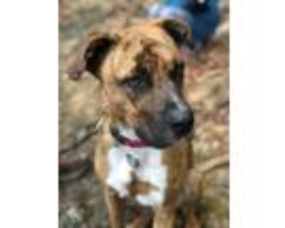 Adopt Cosmo a Brindle - with White Boxer / Australian Cattle Dog / Mixed dog in