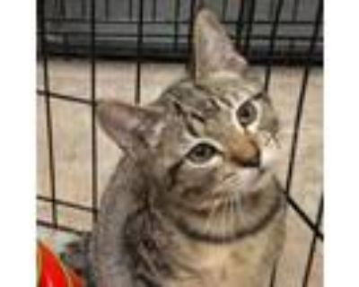 Adopt Emmett a Brown or Chocolate Domestic Shorthair / Mixed cat in Blasdell