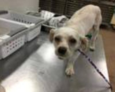 Adopt Dog a White Lhasa Apso / Mixed dog in Thousand Palms, CA (31641240)