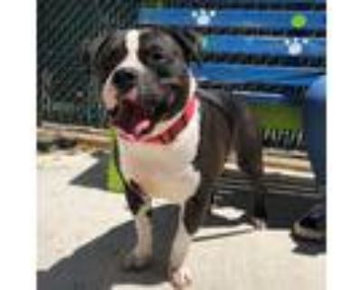 Adopt Rocky a Black American Pit Bull Terrier / Mixed dog in Washington