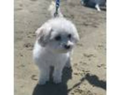 Adopt Porthos a Poodle (Miniature) / Mixed dog in Mipiltas, CA (31565686)