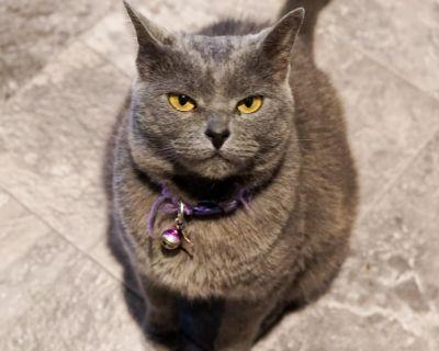 Pepper Potts - Domestic Shorthair - Adult Female