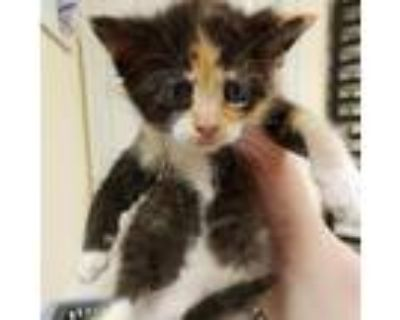Adopt Poppy a Calico or Dilute Calico Domestic Shorthair / Mixed cat in Newport