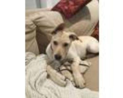 Adopt Dorito a Labrador Retriever, Australian Cattle Dog / Blue Heeler