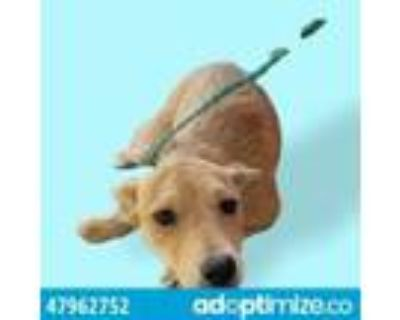 Adopt 47962752 a Brown/Chocolate Border Terrier / Mixed dog in El Paso