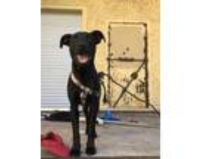 Adopt 47981487 a Black Labrador Retriever / Mixed dog in Fort Worth