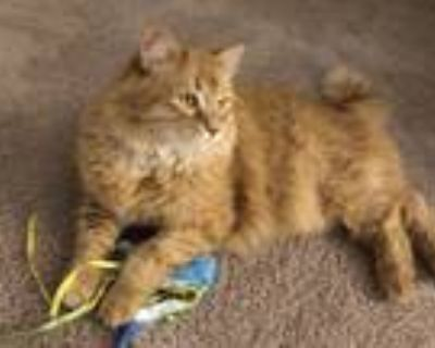 Adopt Gabriel a Orange or Red (Mostly) Domestic Longhair / Mixed (long coat) cat