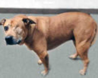 Adopt LEELA REI a Brown/Chocolate Labrador Retriever / Mixed dog in Tucson