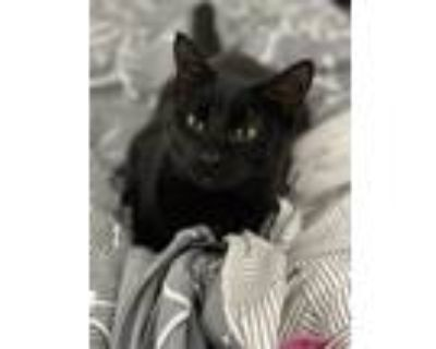 Adopt Toph a Black (Mostly) Domestic Shorthair / Mixed (short coat) cat in
