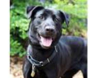 Adopt Faith a Black Labrador Retriever / Mixed dog in Atlanta, GA (30950922)