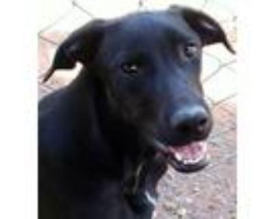 Adopt Granville a Black - with White Mountain Cur / Labrador Retriever / Mixed