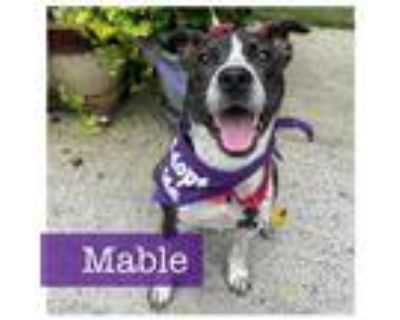 Adopt Mabel a Cattle Dog, Pointer