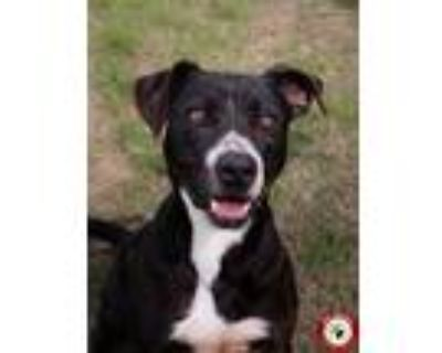 Adopt Kurt a Black - with White American Staffordshire Terrier / Collie / Mixed